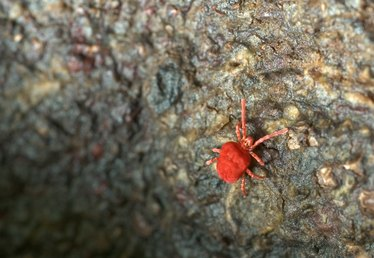 How to Kill Little Red Bugs in the Backyard