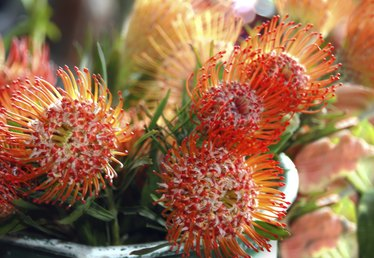 Protea Flower Facts
