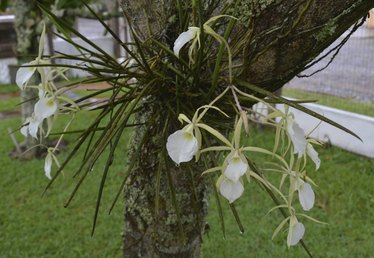 How to Attach Orchids to Trees