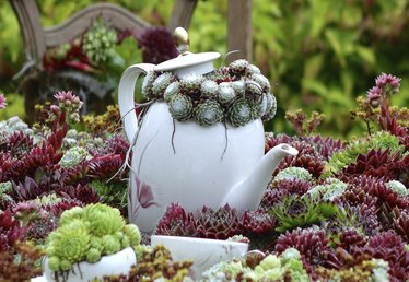 Ideas for Potting Hens and Chicks