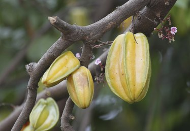 How to Grow Carambola (Star Fruit)