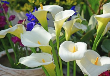 How to Plant Calla Lilly Bulbs
