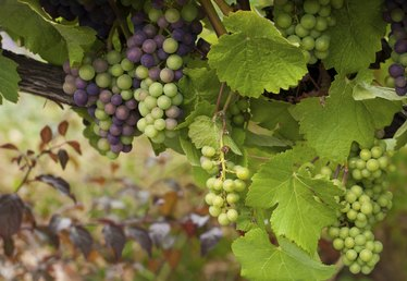 Why Do Grapes Rot Before Ripening?