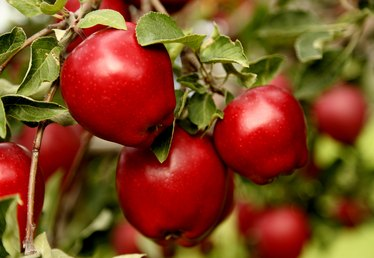 When Are Red Delicious Apples Ripe?