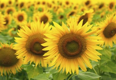 Information on Sunflowers