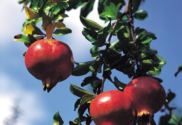 How Long Can a Pomegranate Tree Live?