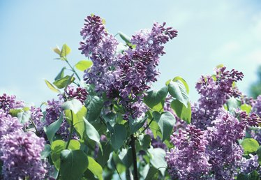 How Do I Treat Fungus on Lilacs?