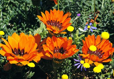 How to Collect Gazania Seeds