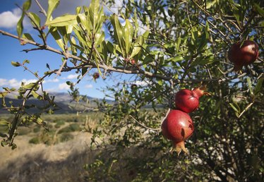 The Best Varieties of Pomegranate Trees