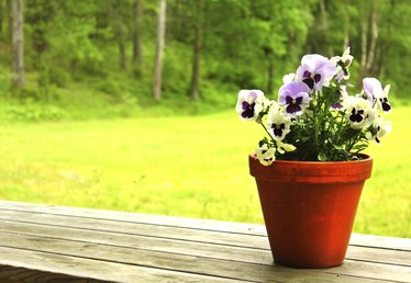 How to Plant Pansies in Containers