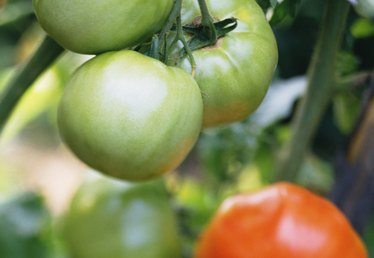 Solanine Content in Ripe Vs. Green Tomatoes