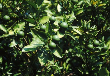 How to Care for a Lime Tree With Curled Leaves