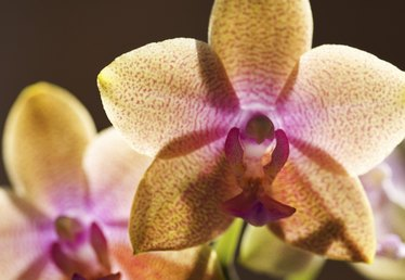 Orchid Care for Yellow Leaves