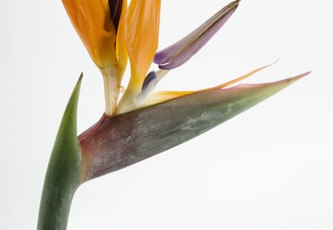 Do You Plant Birds of Paradise in Sun or Shade?