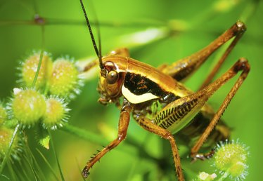 How to Get Rid of Grasshoppers & Crickets
