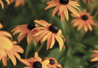 When to Cut Back Brown-Eyed Susans