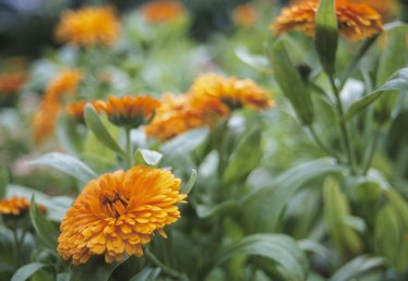 What Are the Marigold's Propagation Methods?