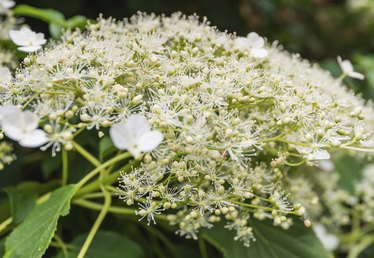 Tips on Growing Climbing Hydrangea
