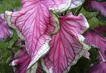 How to Care for a Caladium