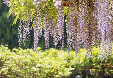 When to Prune a Wisteria Vine