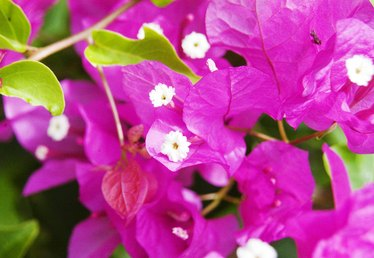 How to Grow Bougainvillea in Florida