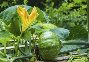 How to Grow Kabocha Pumpkin Vines