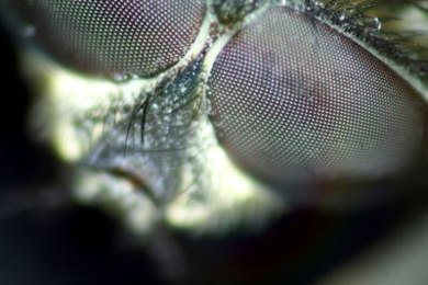 A hypomorphic allele causes changes to fruit fly eye color.