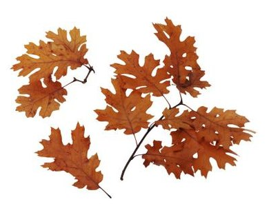 Leaves from oak trees and ginkgo plants have a common ancestor.