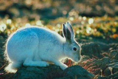 Arctic hares, lemmings and caribou are primary consumers in the tundra.