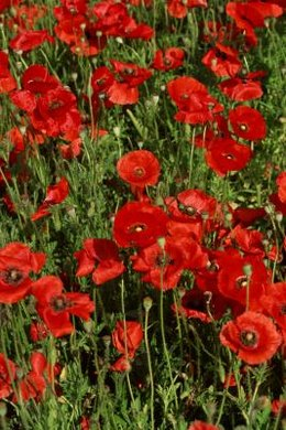 Poppies are an important symbol for Remembrance Day.