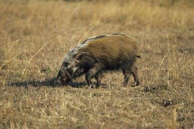Wild pigs can become invasive because they will eat just about anything, including birds.