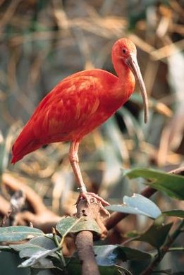 The scarlet ibis dies in the bleeding tree, alone and far from home.