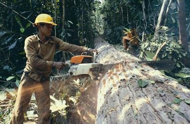 Logging has destroyed much of the Amazon rain forest.