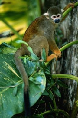 Squirrel monkeys have a diploid number of 44 and a haploid number of 22.