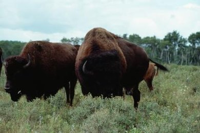 Native herbivores like bison don't overgraze temperate grasslands.