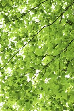 Chlorophyll, responsible for the green color of leaves, is manufactured in photosynthesis.