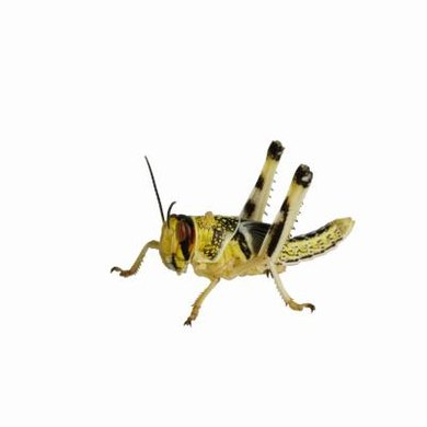 Locusts are symbolic of the missionaries in the story.