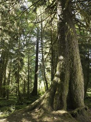 In the temperate rainforests of Olympic National Park in Washington, the coast Douglas fir is the dominant plant species.