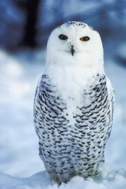 The owls are hard to spot since they blend in with the snow.