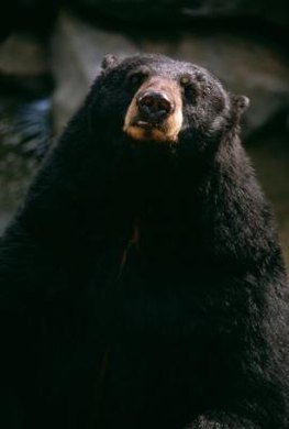 In 2012, drought caused some Colorado bears to forage in populated areas.