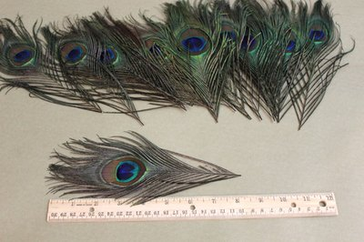 Cut peacock feathers to 8 inches.