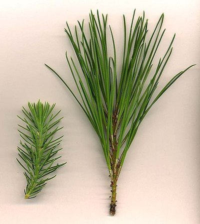 Pine tree needle variations / Photo: Wikimedia Commons