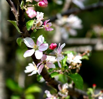 A branch of a blossoming apple tree.