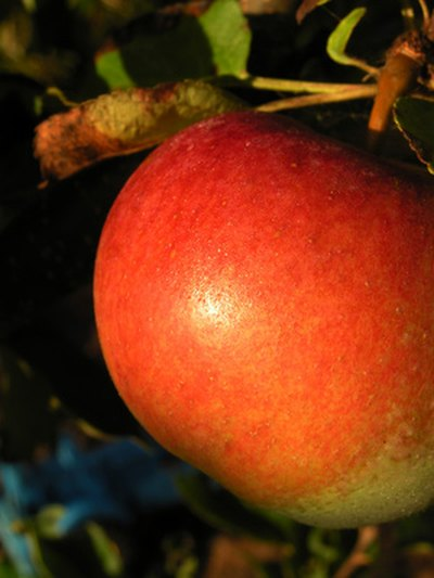 Honeycrisp tolerates cold temperatures and provides delicious fruit.