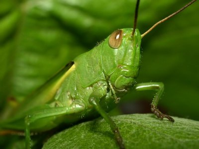 Grasshoppers come in several varieties.