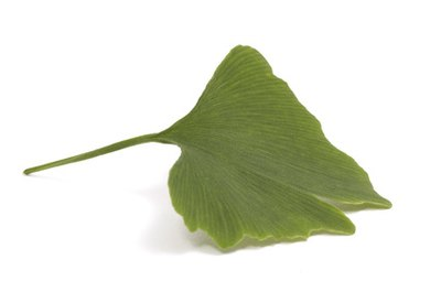 Though they're not needle-shaped, Gingko leaves are classified as Pinophyta.