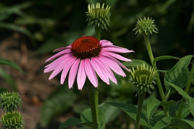 Echinacea, or Cone flower