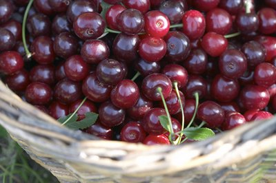 'Ulster' cherries are dark in color.