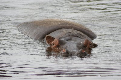 Hippos live in Rwanda's rivers by the grassland.