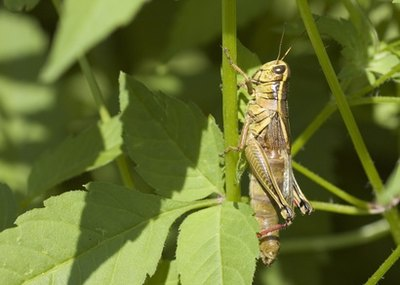 Red-legged grasshoppers have yellow bellies.